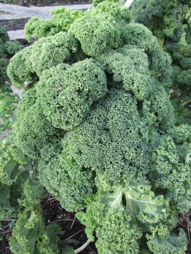 Kale in our veg garden