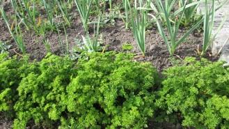 parsley and garlic