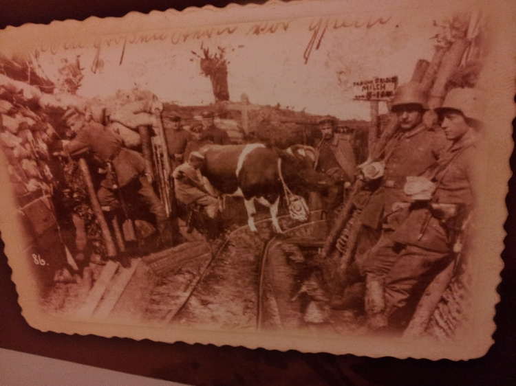 Cow in trenches, WWI, photo Exhibition Ysertower, Diksmuide (2013)