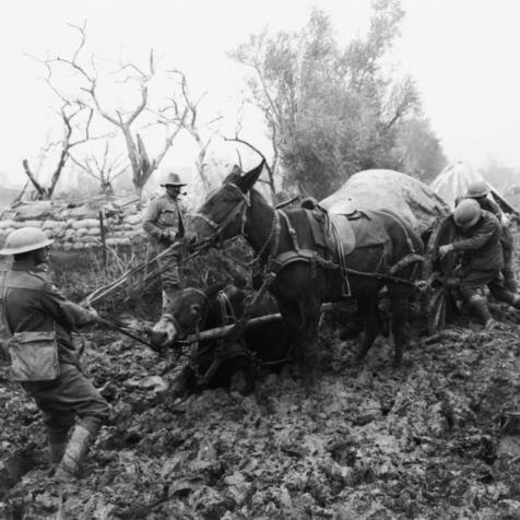 Mules in WWI, photo via internet, The Donkey Sanctuary