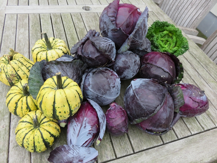Sweet Dumpling (and red cabbages and savoie cabbage)