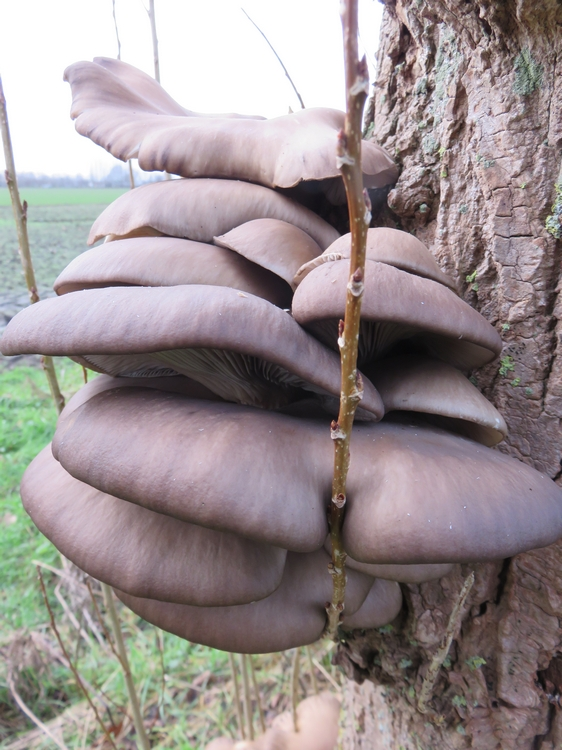 oyster mushrooms on  poplar tree in the garden