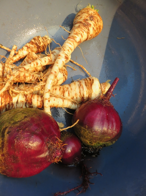 parsley root and red beet
