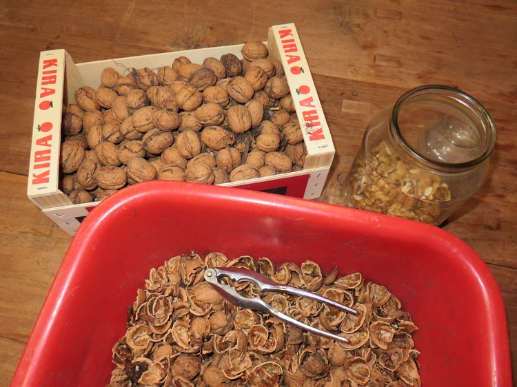 cracking and shelling walnuts