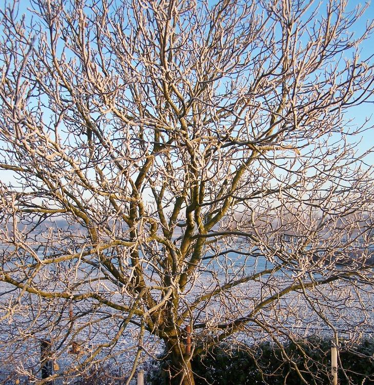 Walnut tree, Winter