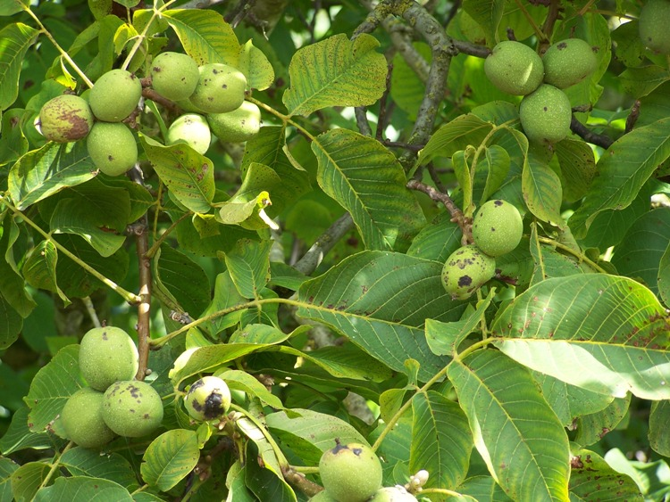 Walnuts in August, still inside green shell