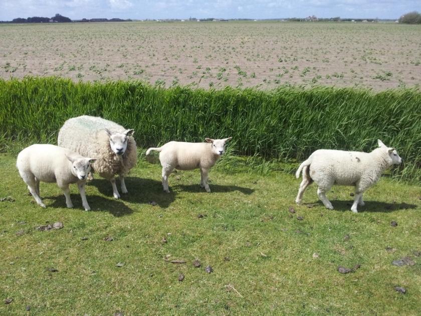 more sheep ...