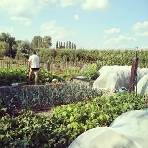 Vegetable garden, Summer 2015