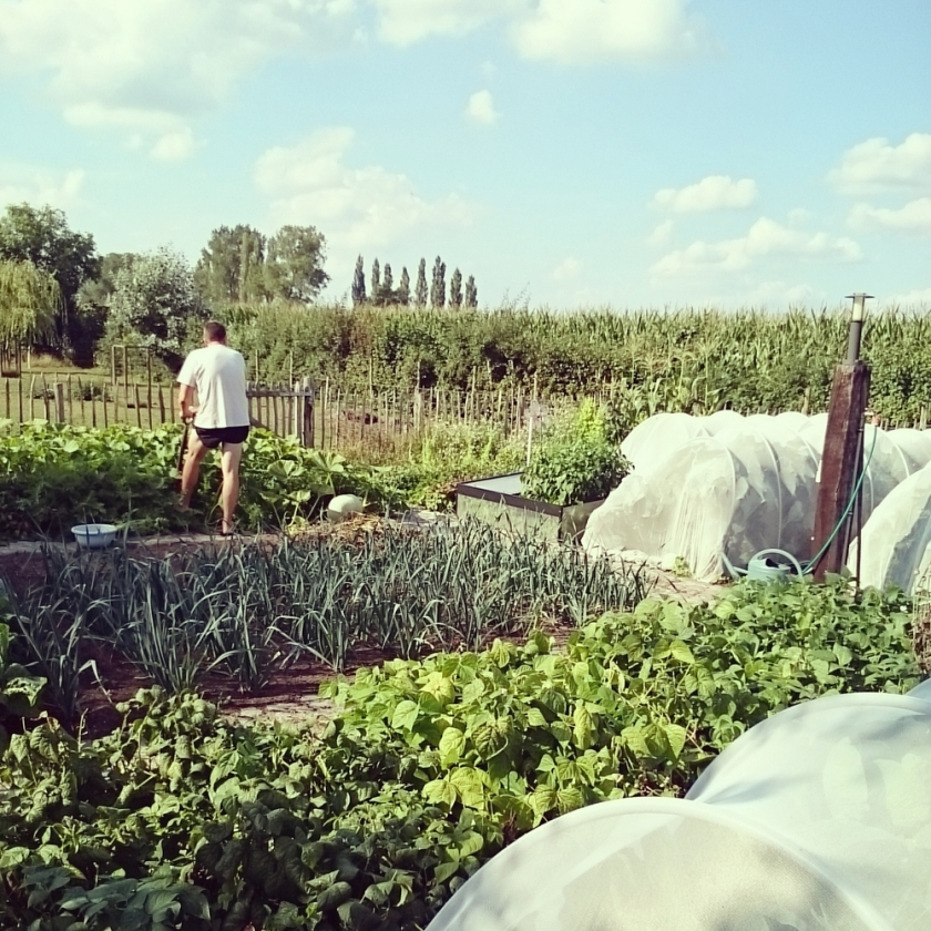 Vegetable garden, Summer 2015