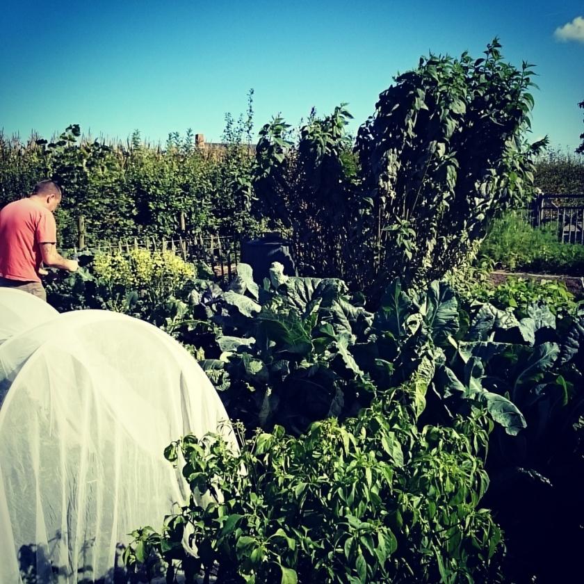Vegetable garden. The big stems are from Jerusalem artichoke