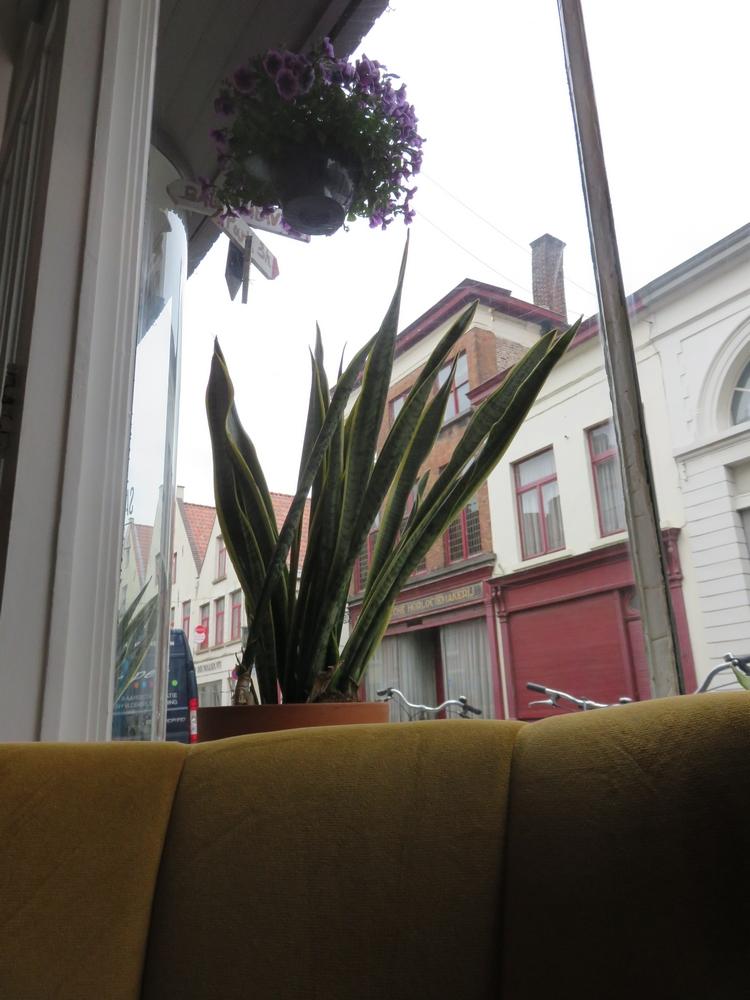 Sanseveria succulent