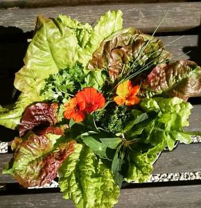 Straight from the garden! Mixed salad and some herbs👍 🌿🌻🌿🌻🌿🌻🌿🌻🌿